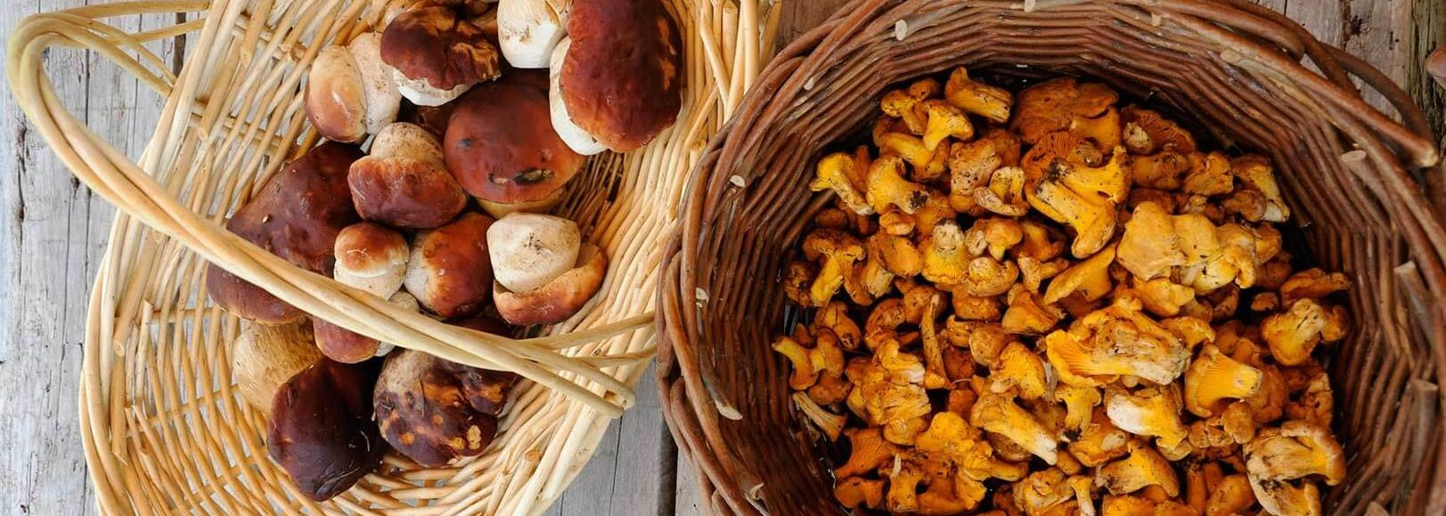 Gathered fresh, wild mushrooms in baskets