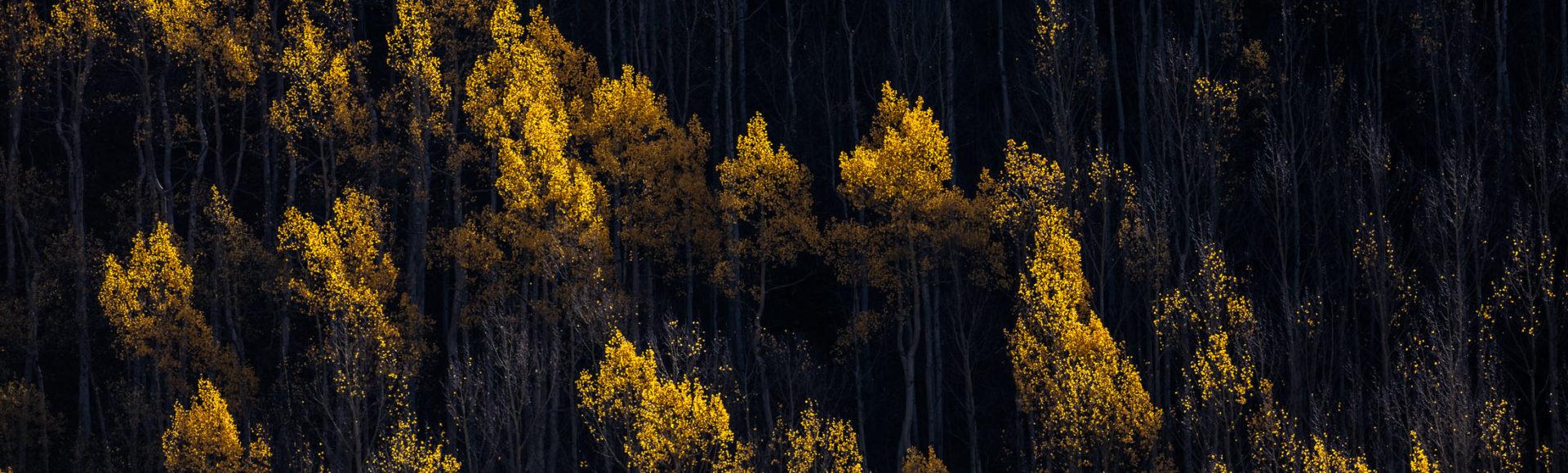 Aspens in fall